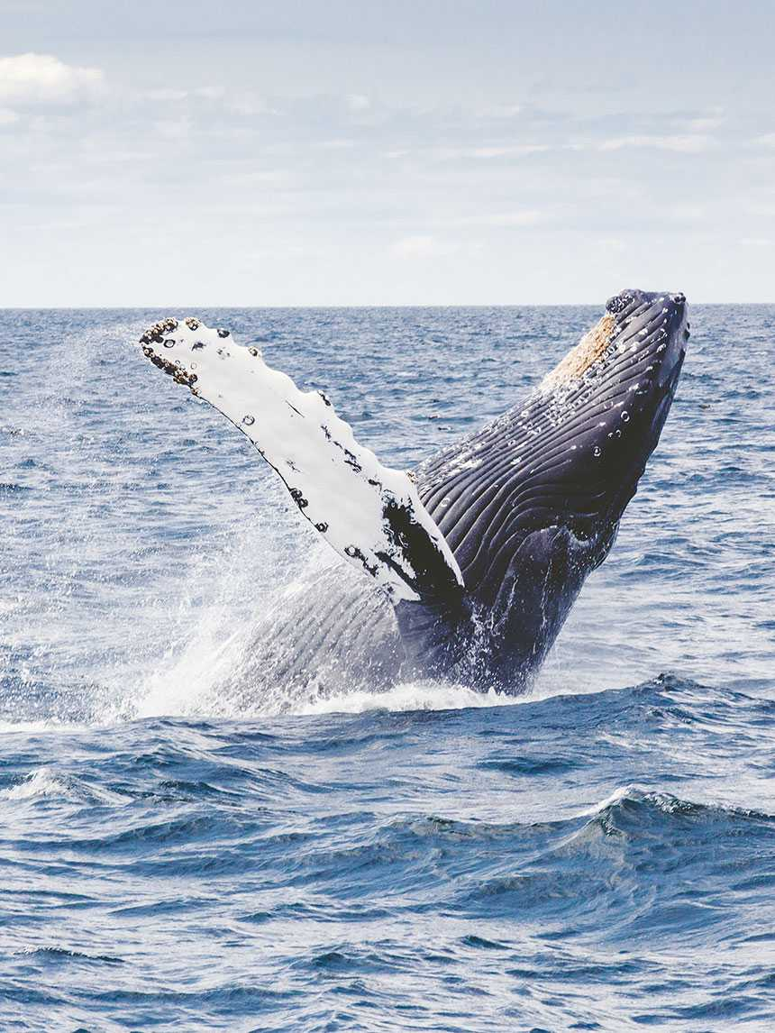 Can Whales Get the Bends?